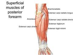 manual muscle test extensor carpi ulnaris
