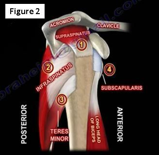 manual muscle test rotator cuff