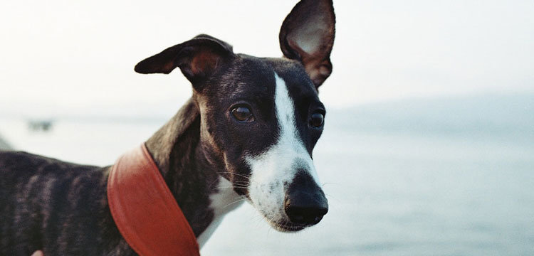 aspirin dosage for dogs merck manual